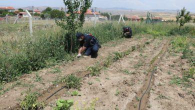 Photo of Kırıkkale'de 112 kök kenevir bitkisi ele geçirildi