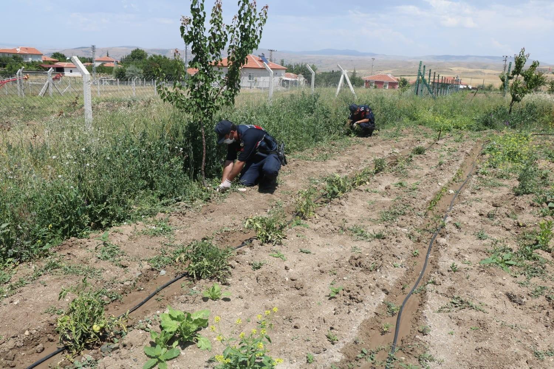 Kırıkkalede 112 kök kenevir bitkisi ele geçirildi - Kırıkkale'de 112 kök kenevir bitkisi ele geçirildi