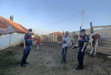 Photo of Arazide kaybettiği kurbanlık hayvanlarını jandarma buldu